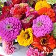 Fresh Zinnia Flowers