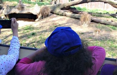Sophia watching Cheetahs at National Zoo-I'm Not the Nanny