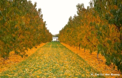 Flinchbaugh's Farm Apricot Orchard