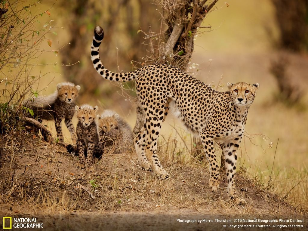Cheetah and cubs National Geographic Photo Photo by Morris Thurston