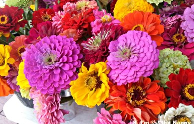 Fresh Zinnia Flowers
